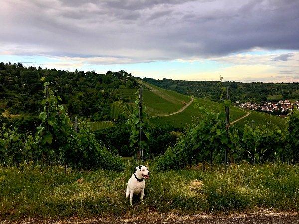 Label Love Hund Parson Russel Terrier auf Weinberg