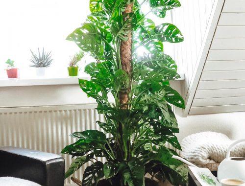 Jede Zimmerpflanze von Bergamotte sieht spitze aus