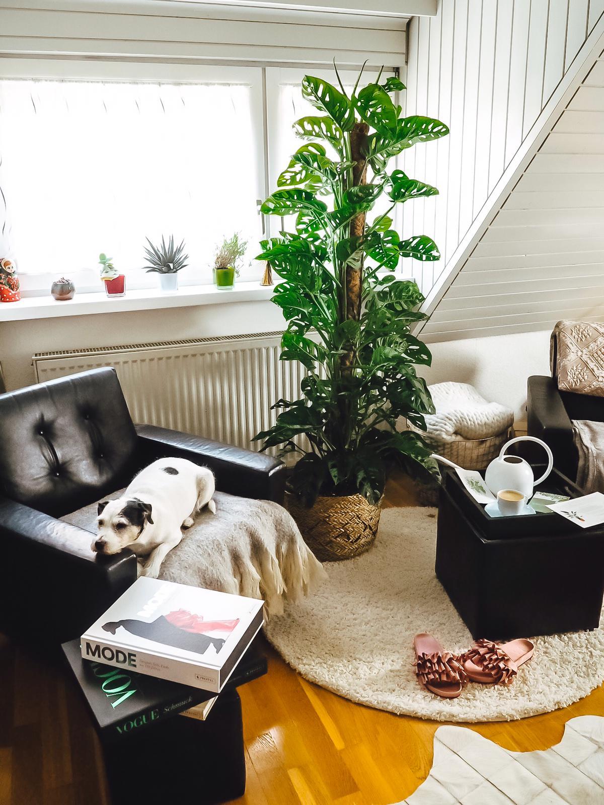 """Eine Zimmerpflanze von Bergamotte ist etwas ganz besonderes. Heute stelle ich euch den tollen Online Shop und Monstera adansonii """"Emily"""" etwas näher vor."""